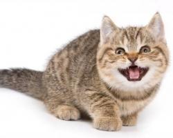 هل تربين قطة .؟؟ اعرفي سبب مواء القطة المتكرر